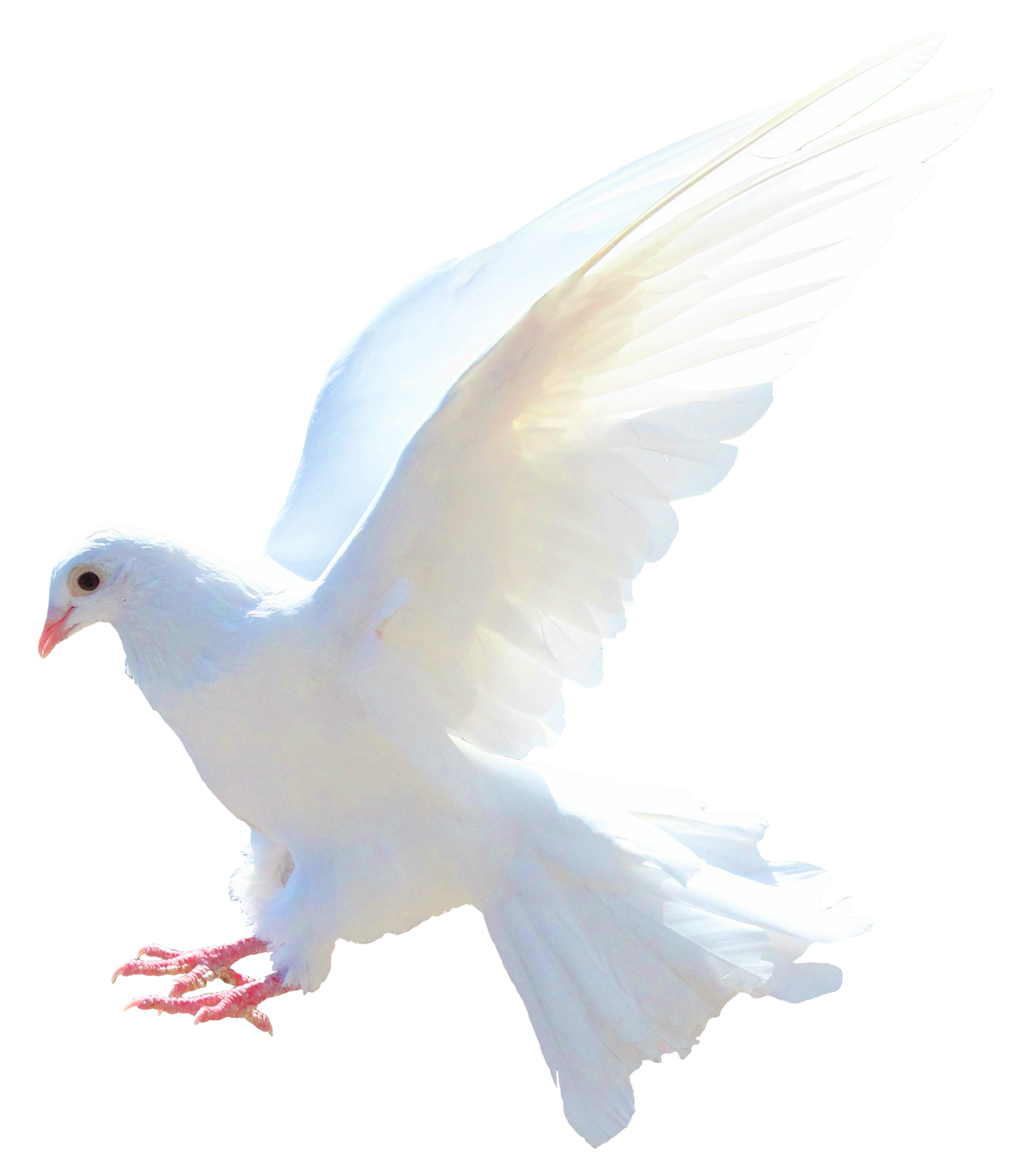 Dove png images. Image purepng free transparent