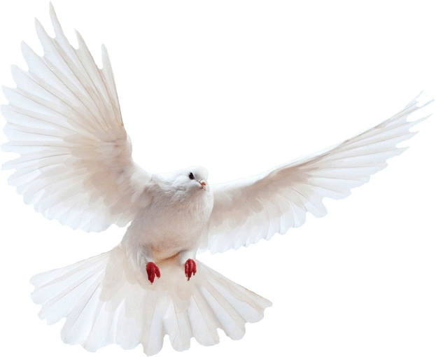 Dove png transparent background. White bird
