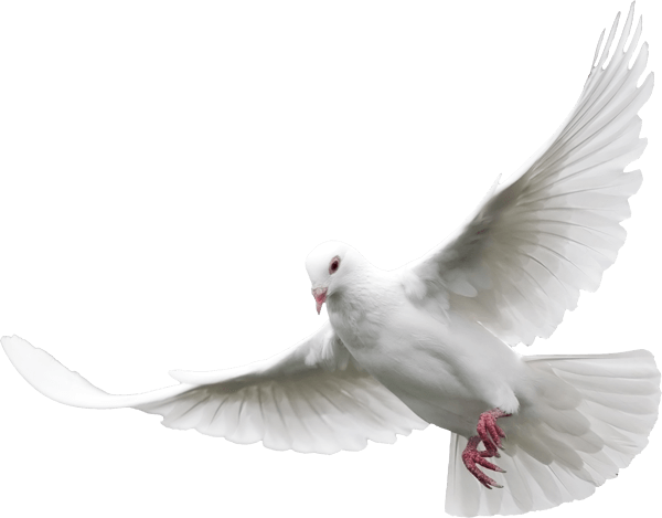 Dove png transparent background. Stickpng