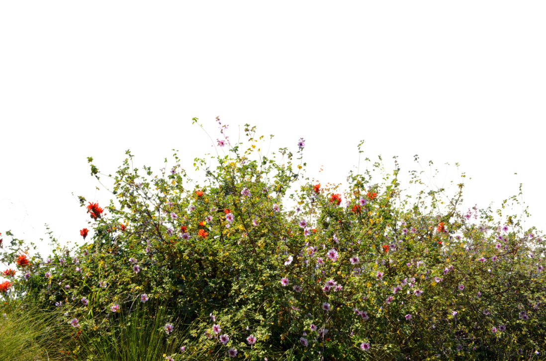 Wild flowers png. Ground cover stock photo