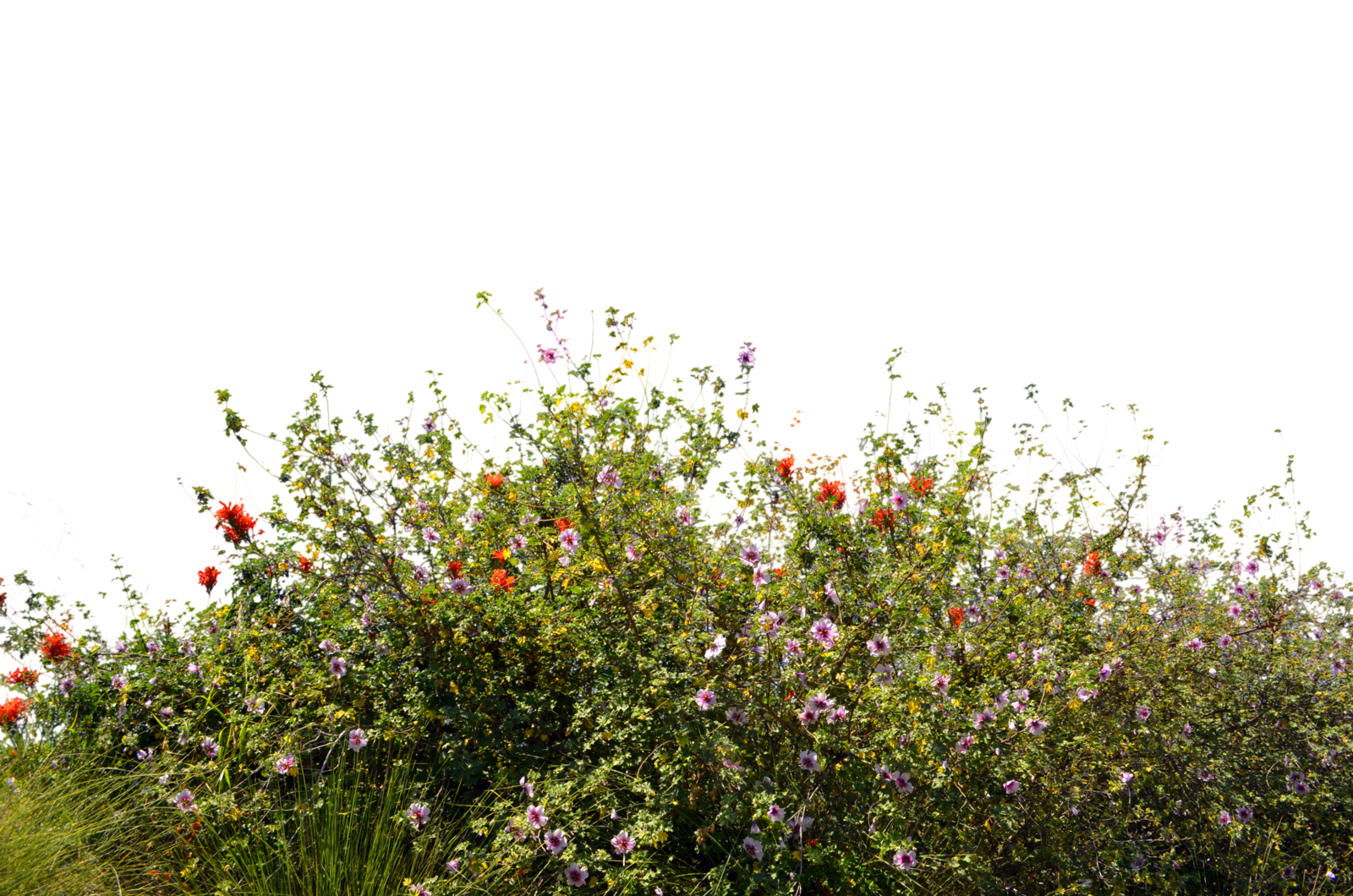 Download stock plower image png photoshop. Ground cover wild flowers