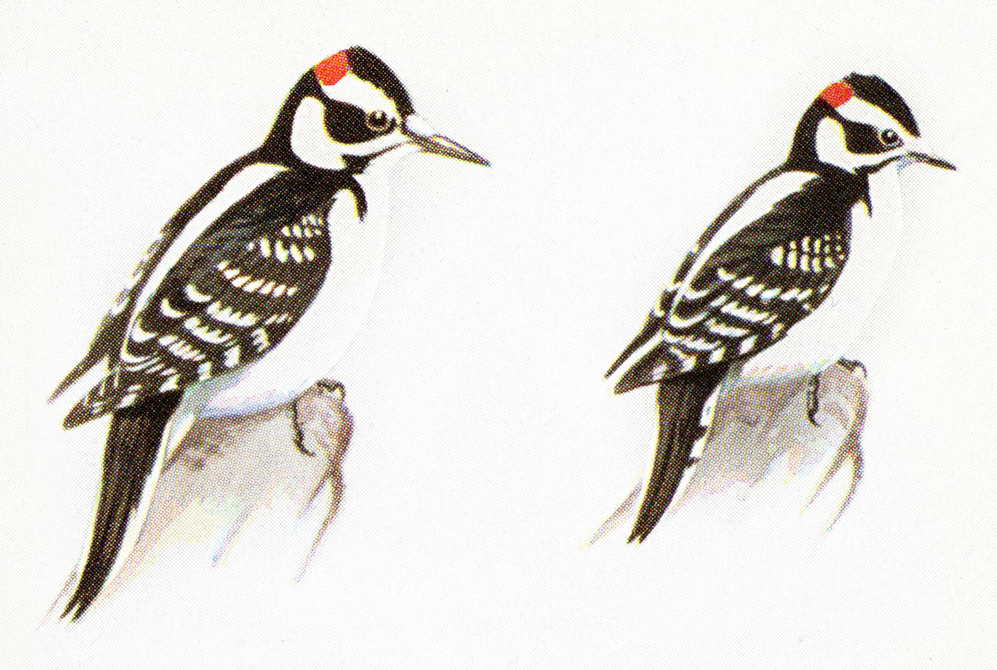 Downy woodpecker. How to tell a