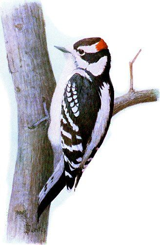 Downy woodpecker. Wonderful full color painting
