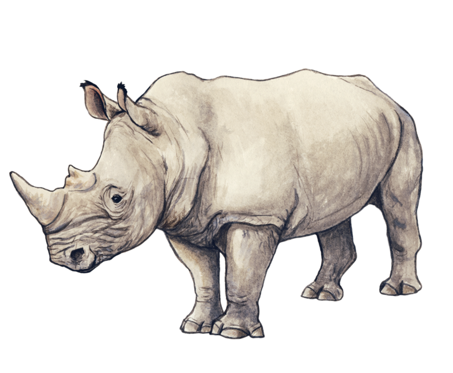 rhinos drawing black rhino