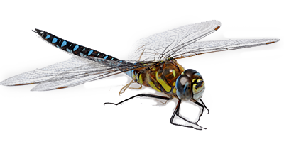 Dragonfly transparent high resolution. Png images free download