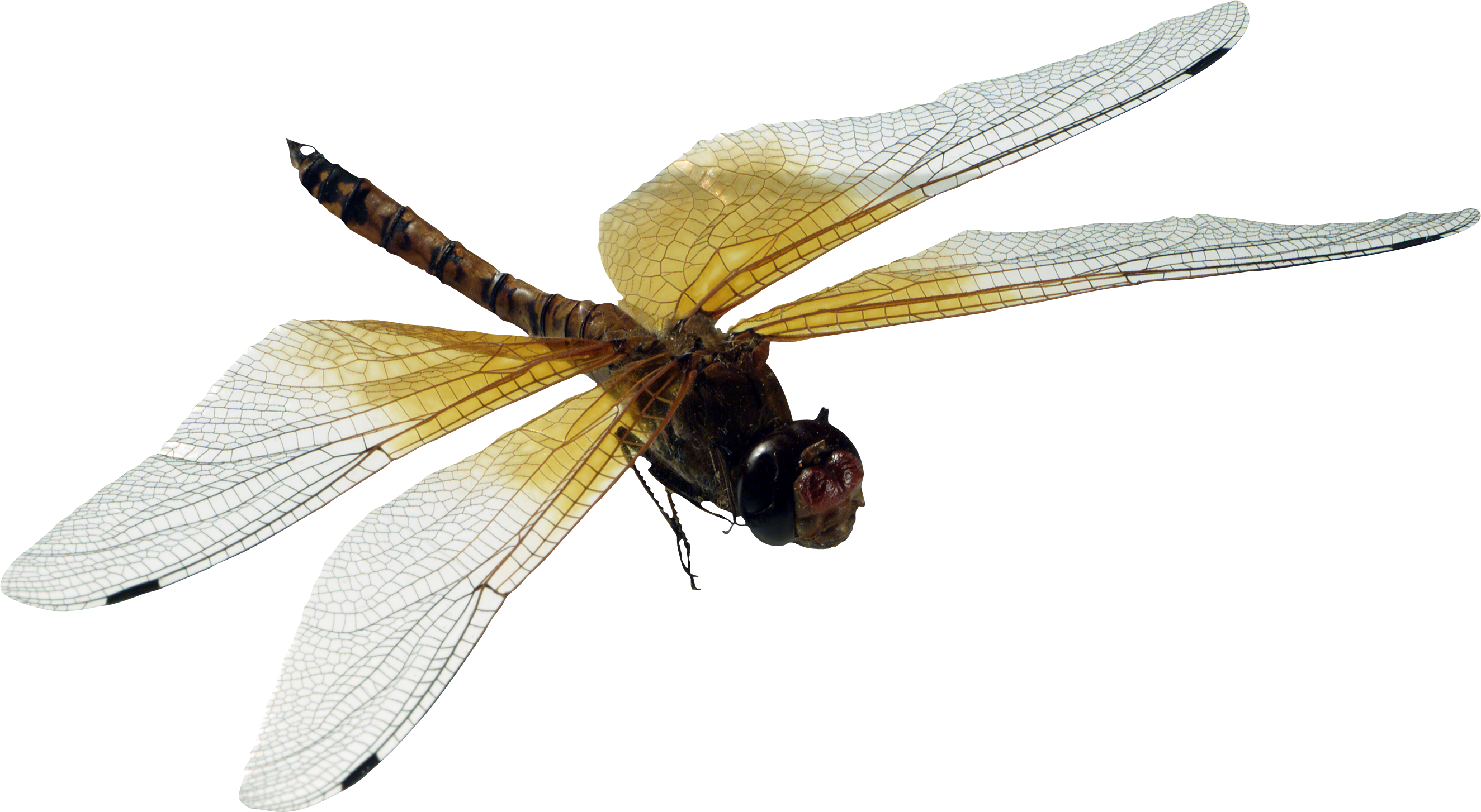 dragonfly transparent photography