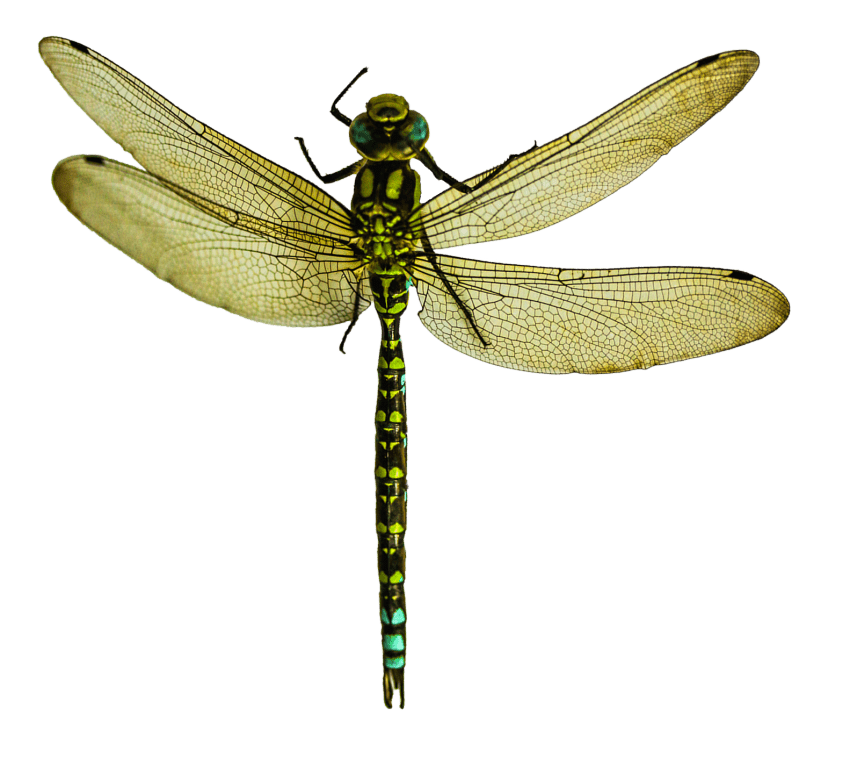 dragonfly wing png