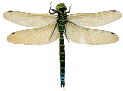 Dragonfly transparent background. Png images pluspng x