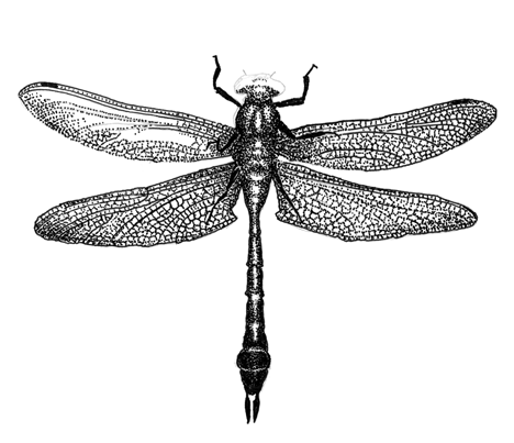 Dragonfly transparent draw. Collection of drawings