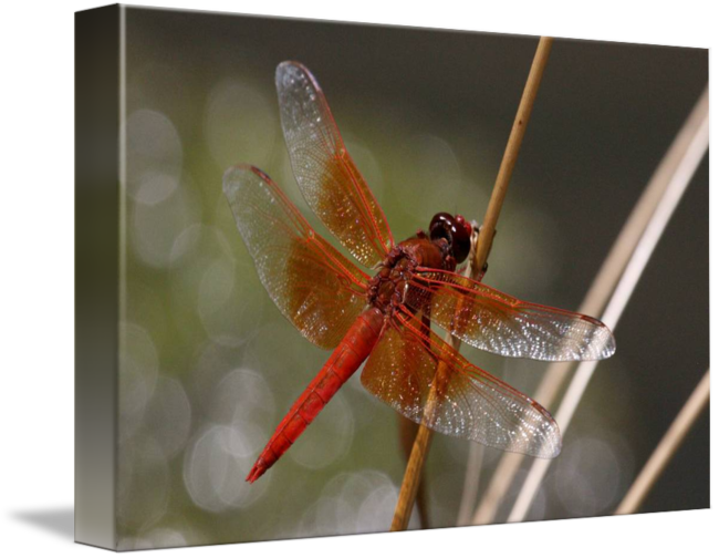 Dragonfly transparent flame skimmer. Libellula saturata by paul