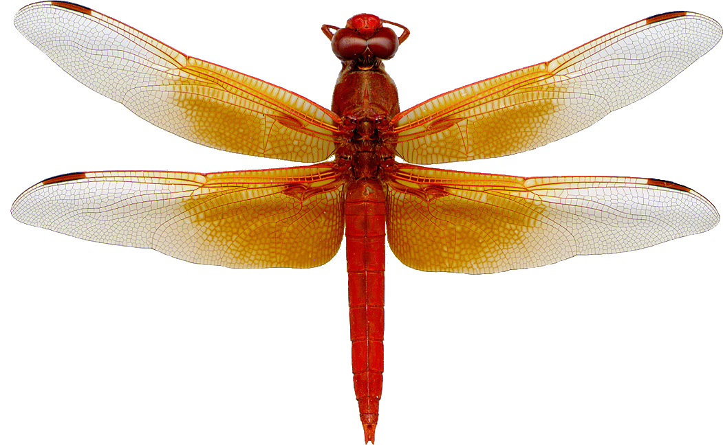 Dragonfly transparent flame skimmer. About skimmers dragonflies of