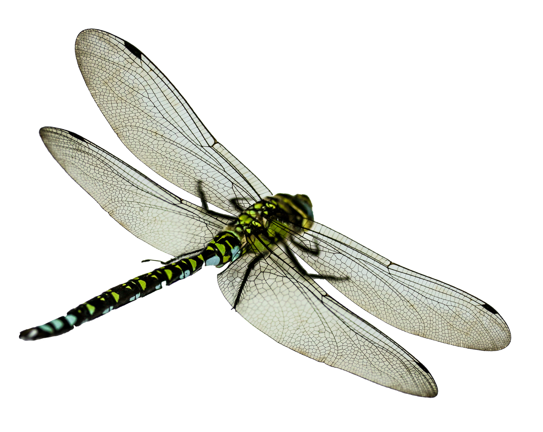 Dragonfly transparent high resolution. Png image purepng free