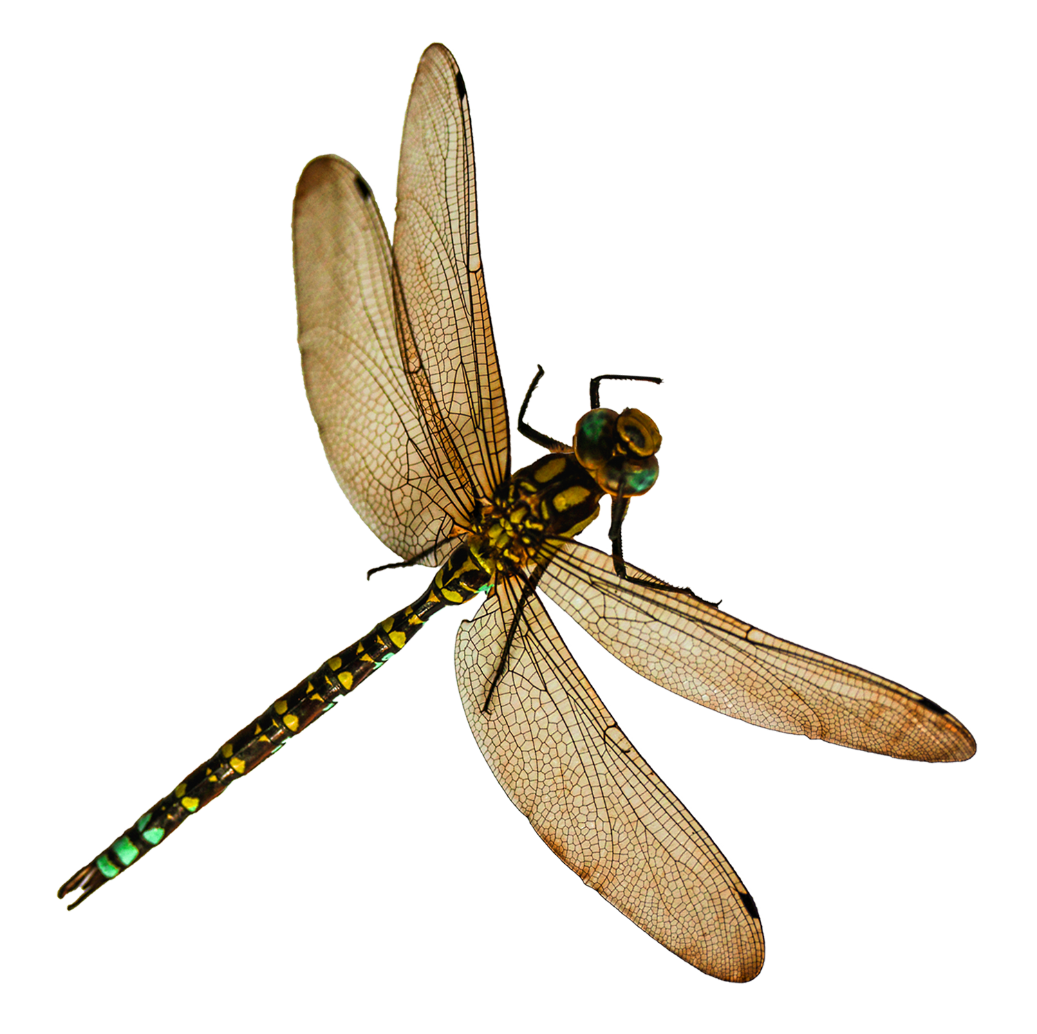 Dragonfly transparent insect. Png image purepng free