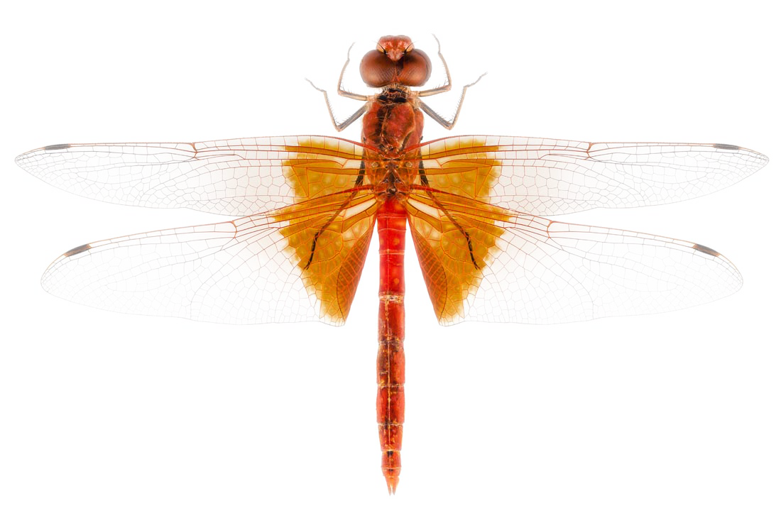 Dragonfly transparent photography. Scarlet insect stock transprent