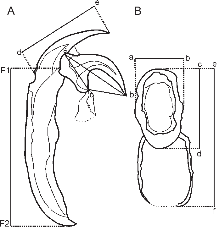 Drawing accessory hand. Hook and oral cadre