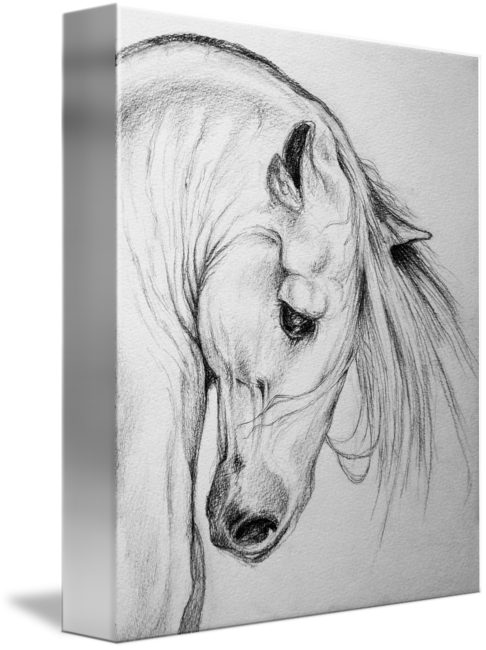 Drawing artwork. Andalusian horse pencil art