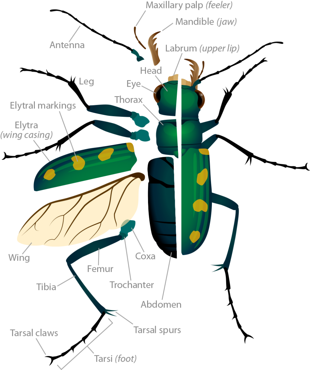 Drawing bugs click beetle. Tiger anatomy ask a