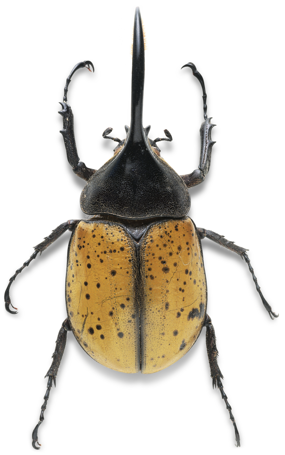 Drawing bugs diving beetle. Image result for beetles