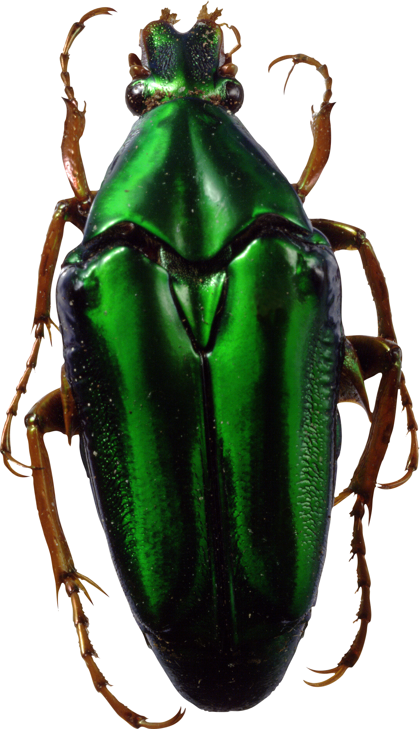 Drawing bugs jewel beetle. Png images free pictures