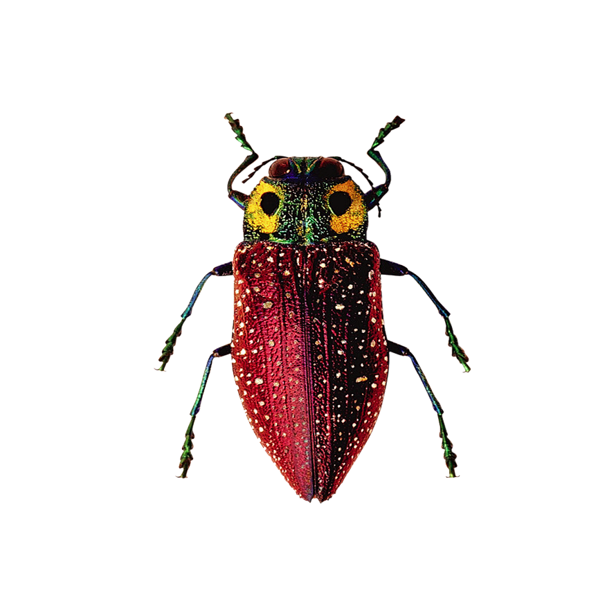 Drawing bugs jewel beetle. Insect software bug insects