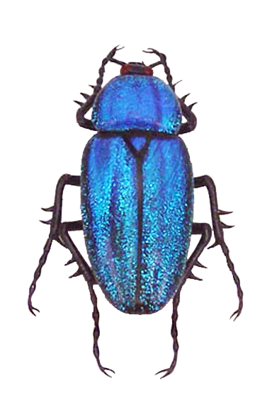 Drawing bugs jewel beetle. Pin by foster ginger