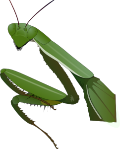 drawing bugs praying mantis