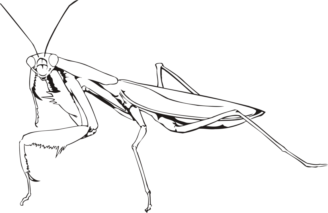 Drawing insects praying mantis. Insect european chevrolet free