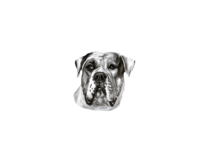 Mysoti danguole tees. Drawing bulldogs american bulldog png download