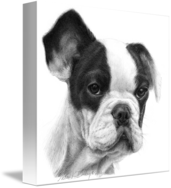French drawing bulldog. By susan donley