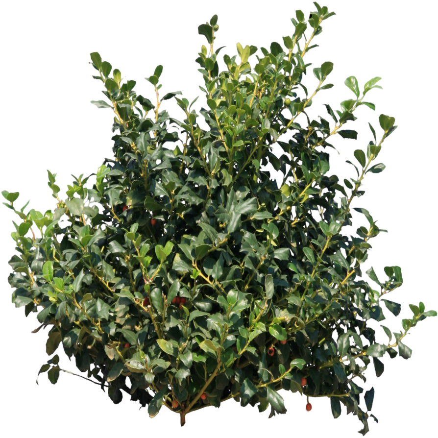 Drawing bushes blueberry bush. Png stock by gilgamesh