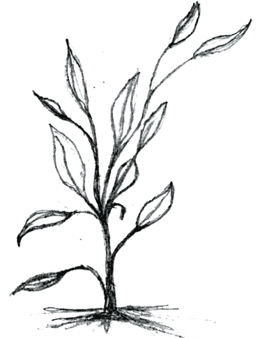 Drawing bushes blueberry bush. Plant line at getdrawings