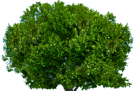 Drawing bushes creosote bush. Tree png trees and