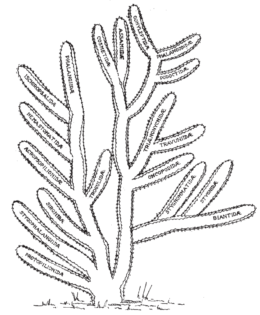 Drawing cactus texture. Evolutionary of the opiliones
