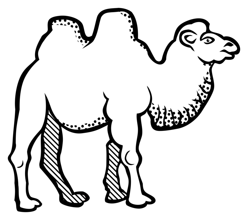 Drawing camel bactrian. Line art black and