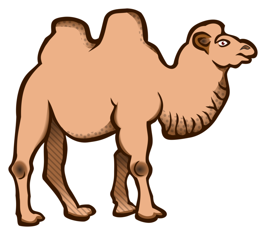 Drawing camels transparent. Bactrian camel dromedary cartoon