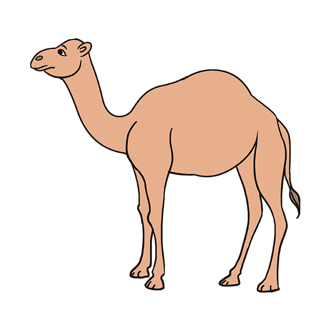 Drawing camels transparent. How to draw a