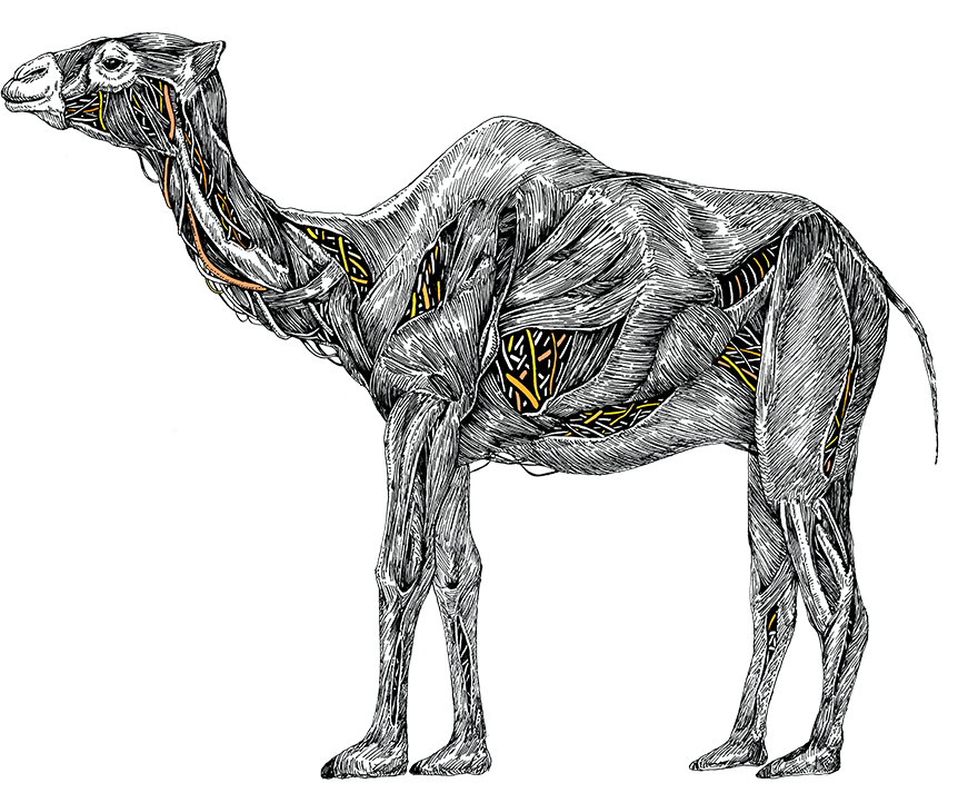Drawing camels running. Nissan camelpower introducting camel