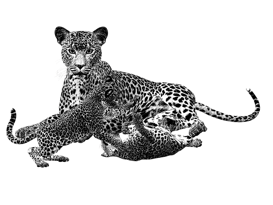 Cheetahs drawing portrait. Leopard png black and