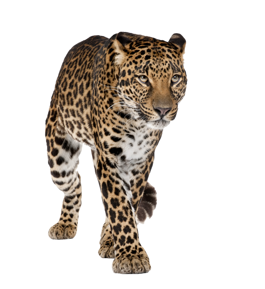 Drawing chinese leopard. Panth re les felins