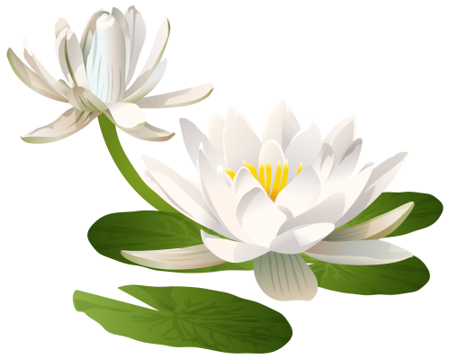 Drawing chinese water lily. Png clip art image