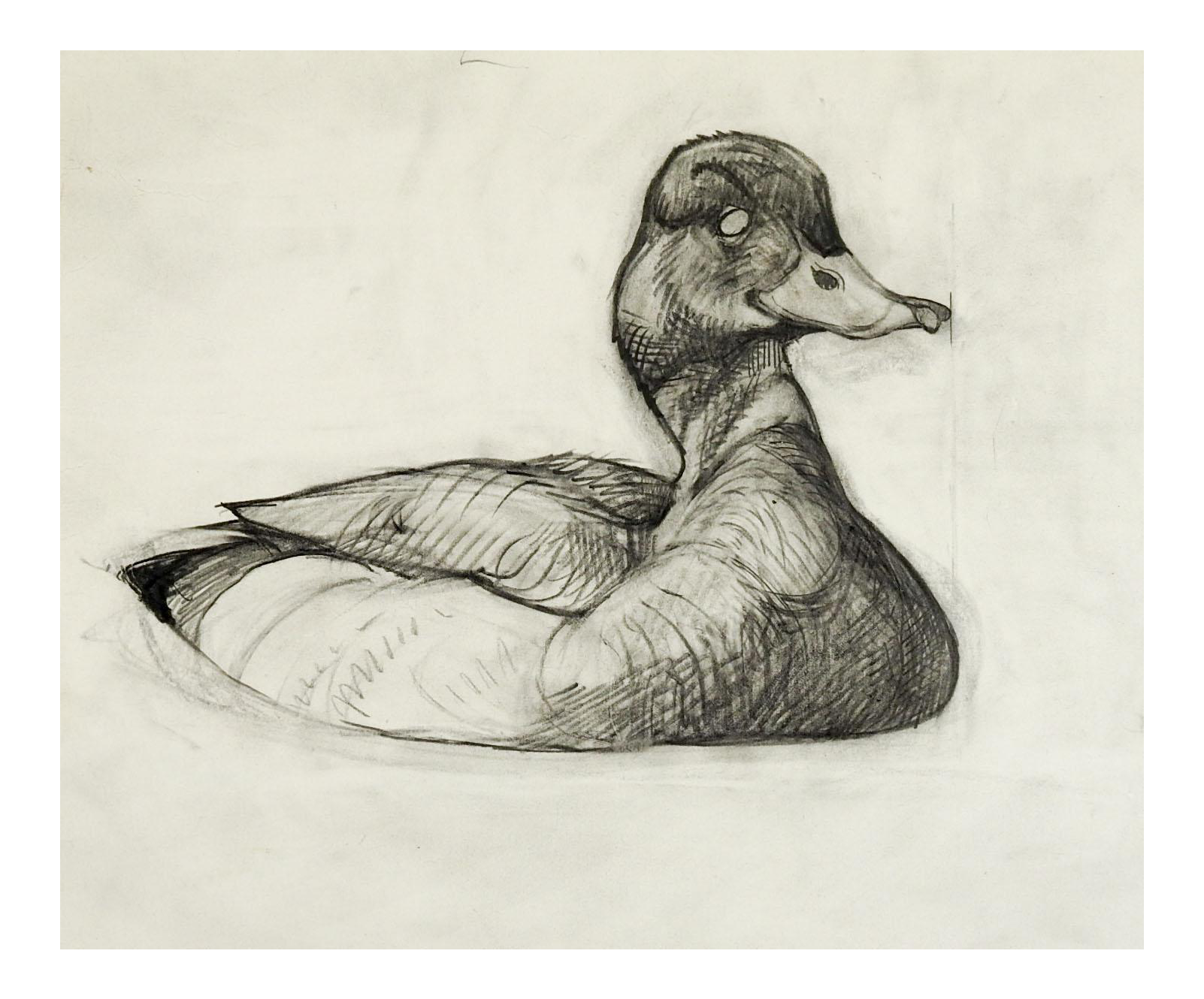 Drawing collages pencil. Vintage mallard duck study