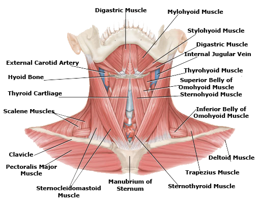 Drawing collarbones female neck anatomy. Human muscles anterior view