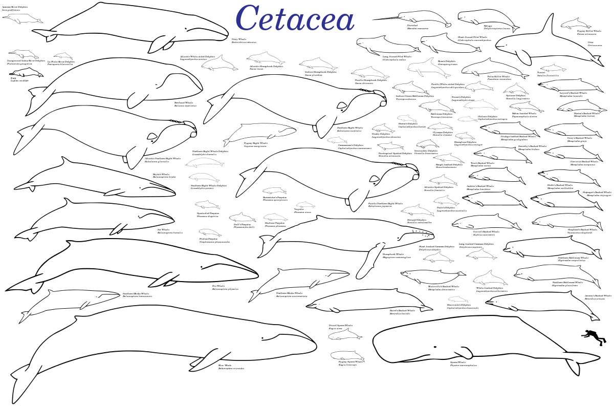 Porpoise drawing prehistoric. Evolution of cetaceans wikipedia