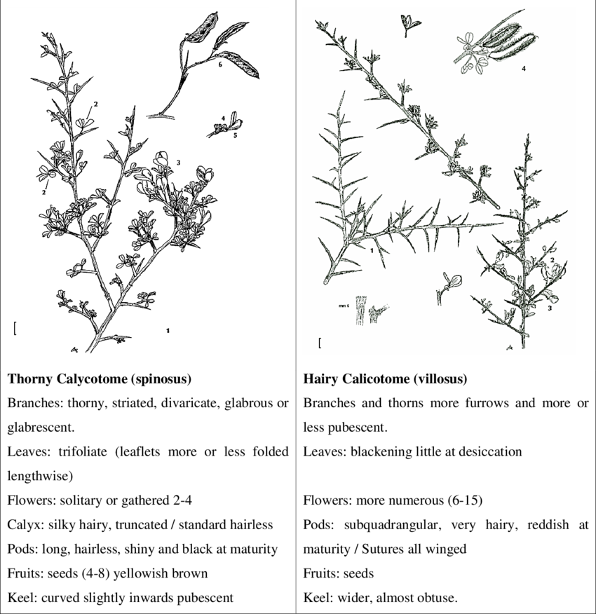 Drawing comparisons botany. Comparison between calicotome spinosa