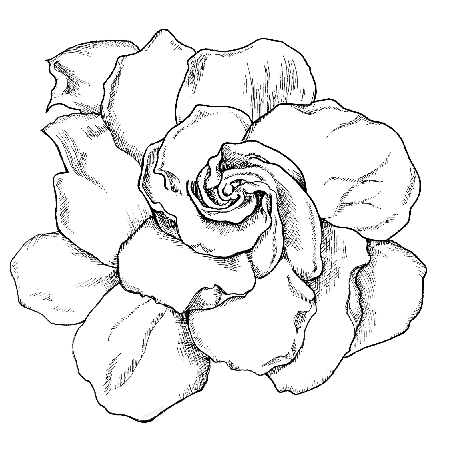 Drawing creatively. Huge collection of gardenia