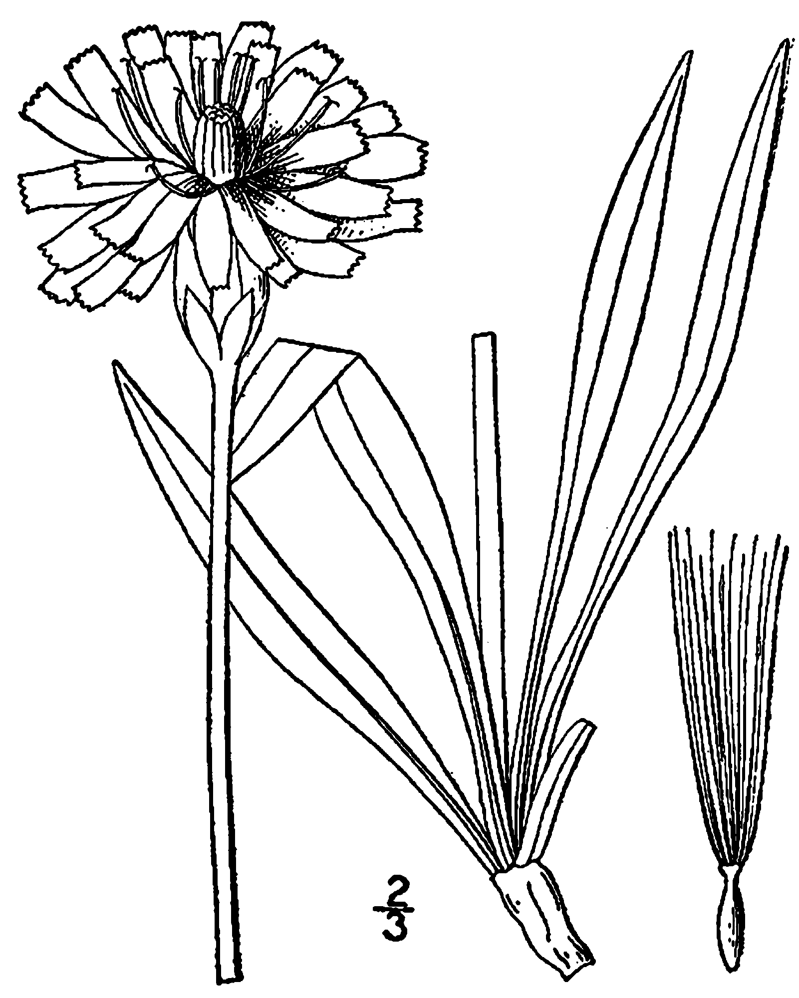 Drawing dandelion line. At getdrawings com free