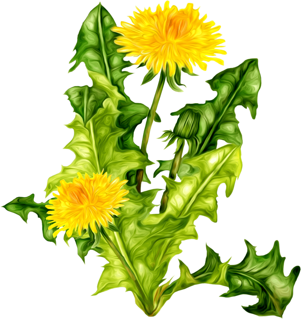 Drawing dandelion sow thistle. Clipart clip arts for