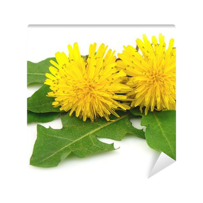 Drawing dandelion sow thistle. Flowers with leaves wall