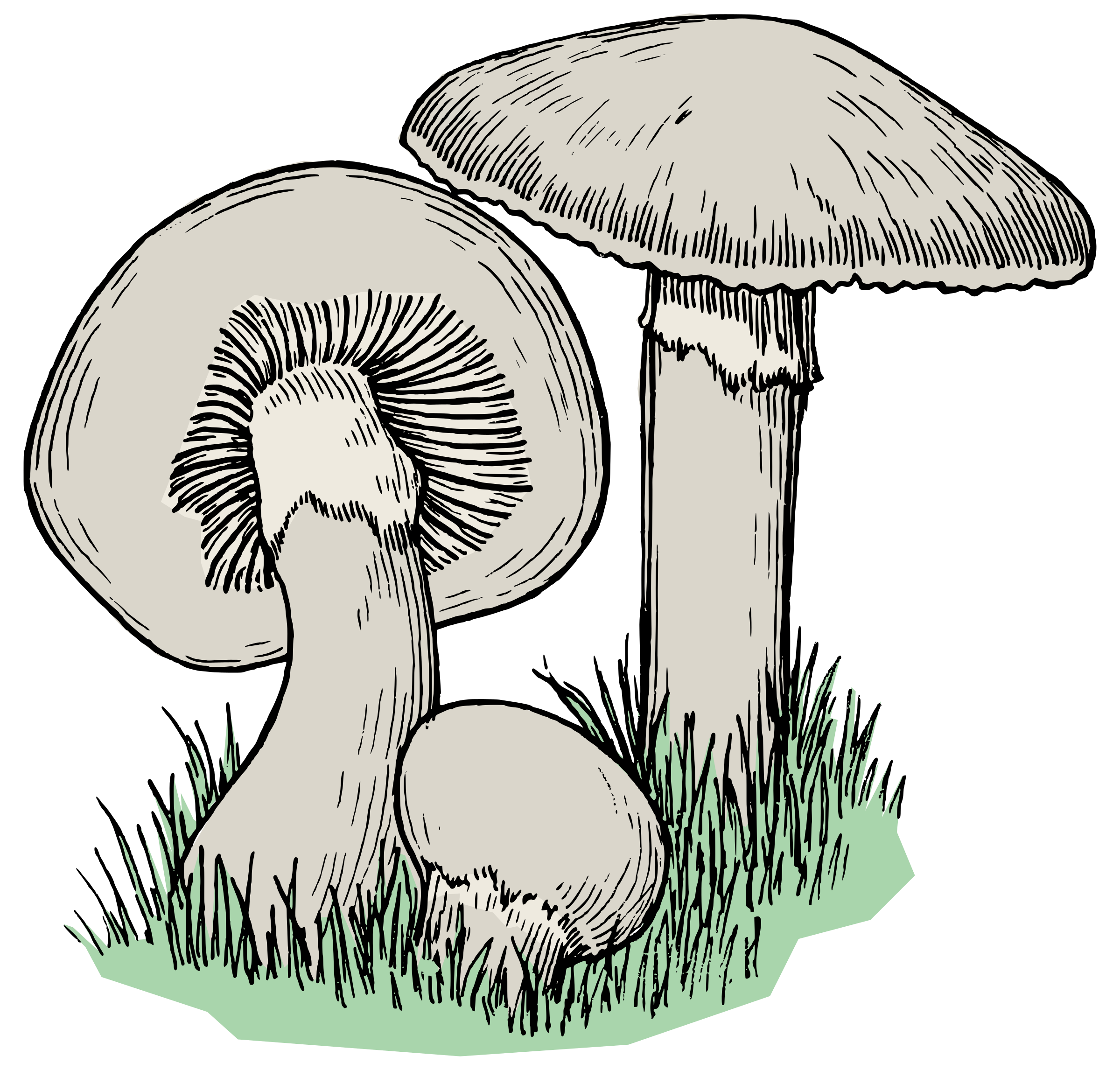 Drawing detail mushroom. Clipart mushrooms colour big