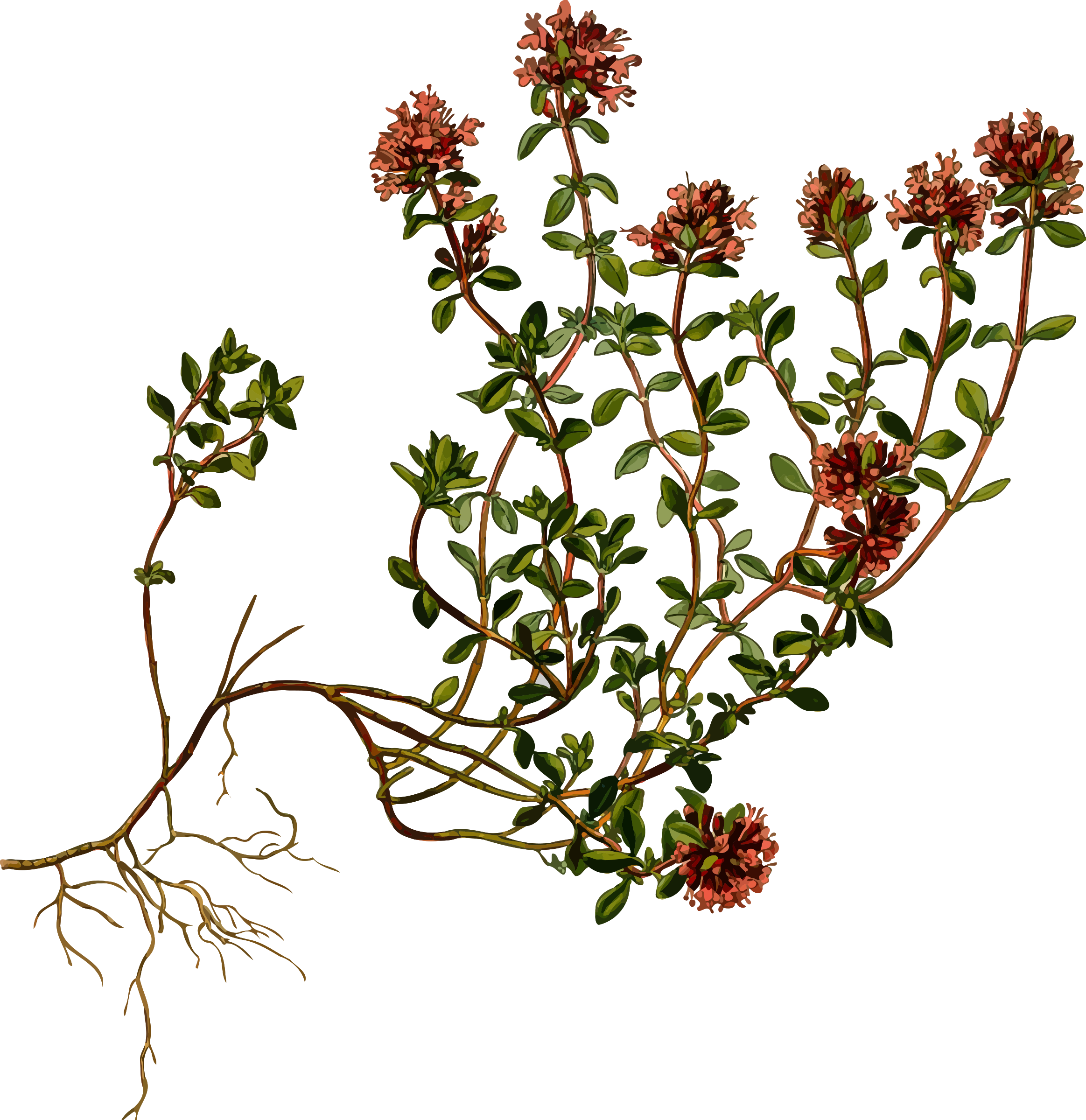 Drawing detail plant. Wild thyme detailed by